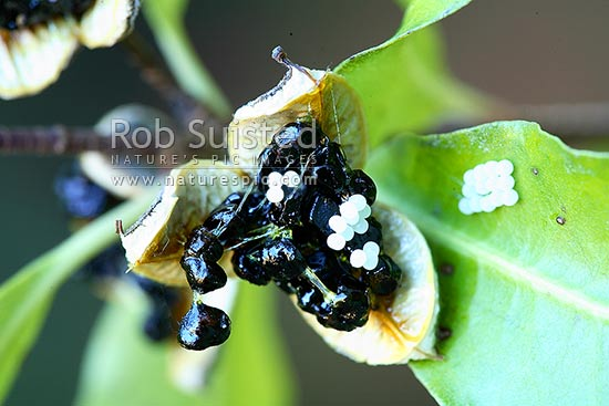 Sticky seed capsules and fruit of Kohuhu with moth eggs laid on fruit - (Pittosporum tenuifolium), Lake Wakatipu, Queenstown Lakes District, Otago Region, New Zealand (NZ) stock photo.