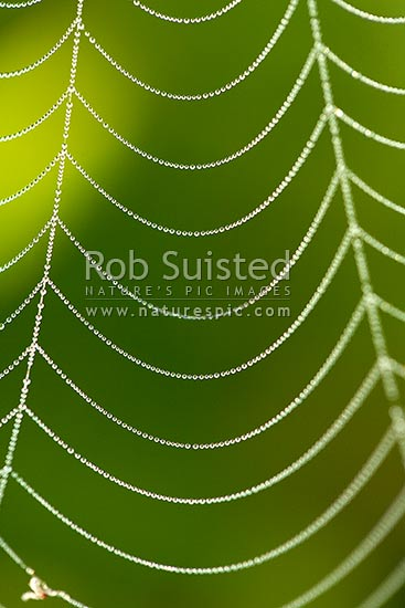 Morning dew drops on a spiderweb. Orbweb Spider's web, New Zealand (NZ) stock photo.
