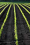 Crop rows and seedlings