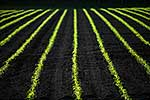 Crop seedling lines
