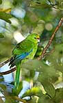 NZ Native parakeet Kakariki