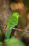 Yellow-crowned parakeet, NZ native