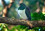 NZ Native Pigeon, Kereru