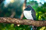 NZ Native Bird Kereru