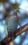 NZ bird Kereru