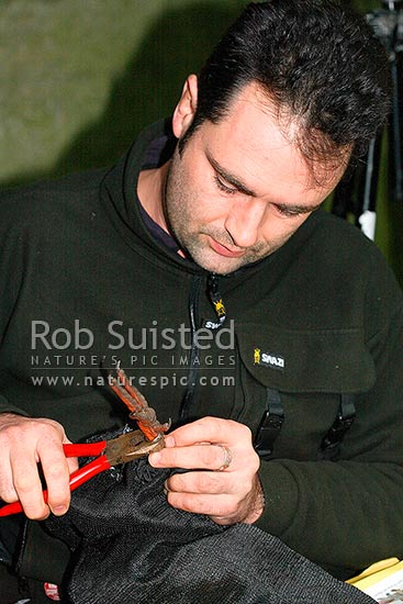Conservation worker banding a Western Weka bird (Gallirallus a. australis) for conservation translocation, Long Island, Picton, Marlborough District, Marlborough Region, New Zealand (NZ) stock photo.
