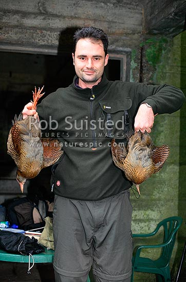 A pair of Western Weka birds (Gallirallus a. australis) caught for translocation by conservation worker, Long Island, Picton, Marlborough District, Marlborough Region, New Zealand (NZ) stock photo.