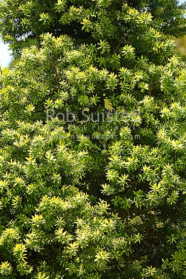 Kauri tree (Agathis australis) leaves, foliage (texture) and cones, New Zealand (NZ) stock photo.