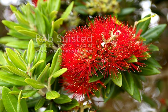 Red Pohutukawa flower (Myrtaceae - Metrosideros excelsa), 'New Zealand Christmas Tree', New Zealand (NZ) stock photo.
