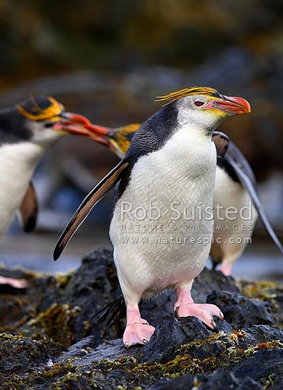 Royal Penguins arriving on rocky coast (Eudyptes chrysolophus (formerly E. schlegeli) white faced Macaroni penguin), Macquarie Island, NZ Sub Antarctic District, NZ Sub Antarctic Region, Australia stock photo.