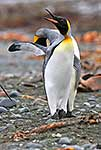 King penguin calling, flippers up
