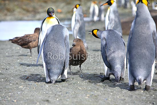 King Penguins (Aptenodytes patagonicus) seeing off a Brown, Southern Great, or Southern Skuas (Catharacta antarctica), Macquarie Island, NZ Sub Antarctic District, NZ Sub Antarctic Region, Australia stock photo.