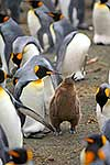 King Penguin adults and young
