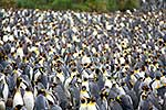 King Penguins in breeding colony