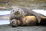 Young Southern Elephant Seals
