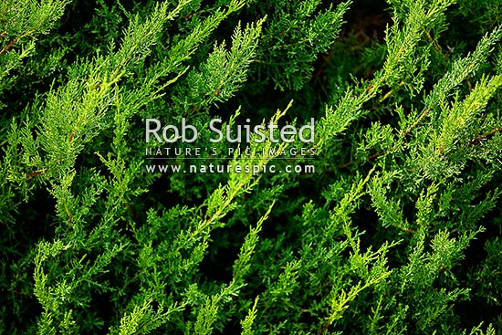 Close up of cypress tree foliatge (Cupressus), New Zealand (NZ) stock photo.