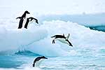 Adele penguins diving from ice to sea