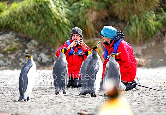 Tourist visitors to Macquarie Island photographing King penguins (Aptenodytes patagonicus) at Sandy Bay, Macquarie Island, NZ Sub Antarctic District, NZ Sub Antarctic Region, Australia stock photo.