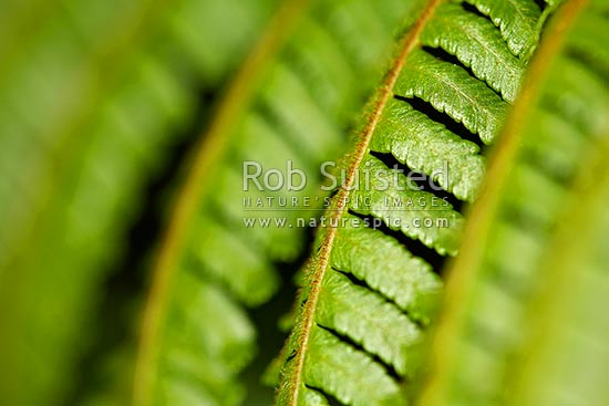 Close up of fern fronds - Mamaku; Black tree fern (Cyathea medullaris), New Zealand (NZ) stock photo.