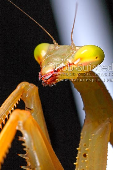 Head and forelegs of the Introduced insect predator South African Praying Mantis or Springbok Mantis, showing compound eyes and mouth parts (Miomantis caffra, Mantidae), New Zealand (NZ) stock photo.