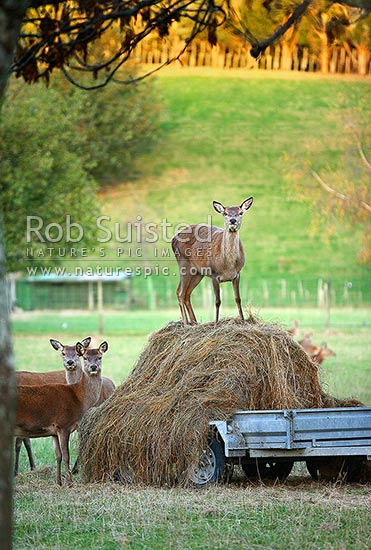 Farmed red deer (Cervus elapus). One deer standing on top of hay bale, Rangitikei, New Zealand (NZ) stock photo.