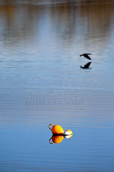 Fishing bouys floating in mirror calm water with shag bird flying behind, New Zealand (NZ) stock photo.