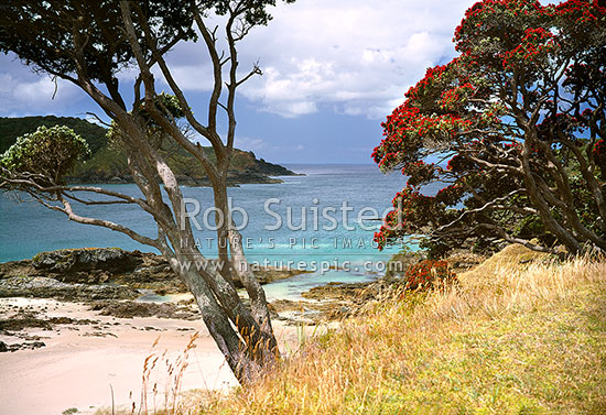 Summer at Maitai (Matai) Bay beach with flowering Pohutukawa trees above the scenic bay and beach, Karekare Peninsula, Far North District, Northland Region, New Zealand (NZ) stock photo.