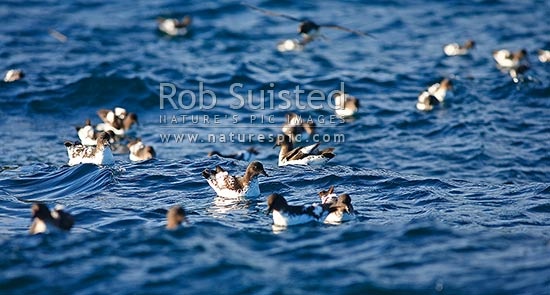 Cape pigeons or cape petrels, Pintado Petrel (Daption capense) sitting and feeding in a flock on sea surface, Snares Islands, NZ Sub Antarctic District, NZ Sub Antarctic Region, New Zealand (NZ) stock photo.