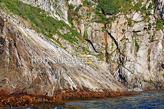 Rocky cliffs and shoreline on the Snares Island, showing the famous Penguin Slope or Ramp where penguins climb to nests in forest above, Snares Islands, NZ Sub Antarctic District, NZ Sub Antarctic Region, New Zealand (NZ) stock photo.