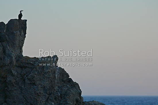 Little Shag (Phalacrocorax melanoleucos - cormorant) sitting on coastal rocks at twilight, Wellington, Wellington City District, Wellington Region, New Zealand (NZ) stock photo.