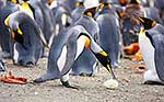 King Penguin colony, lost egg