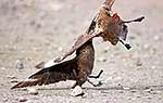 Skua fighting over dead chick
