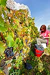 Picking grapes at harvest time