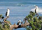 Pied shags in tree, Coromandel
