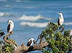 Group of shags perched in tree
