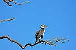 Pied Shag resting on tree branch