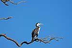 Pied shag resting on branch