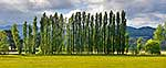 Poplar trees used as windbreak