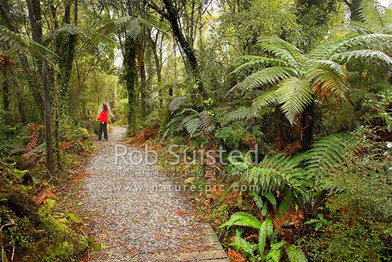 Rainforest walking track through bush and ferns, with interested visitor viewing trees. Ship Creek, Haast, Westland District, West Coast Region, New Zealand (NZ) stock photo.