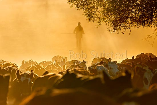 Mustering cattle into the Bush Gully stockyards on a dry dusty morning. Pip McConway moving stock for calf marking, Molesworth Station, Marlborough District, Marlborough Region, New Zealand (NZ) stock photo.