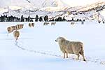 Sheep in winter snow