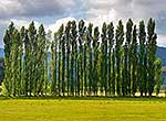 Poplar trees on farmland