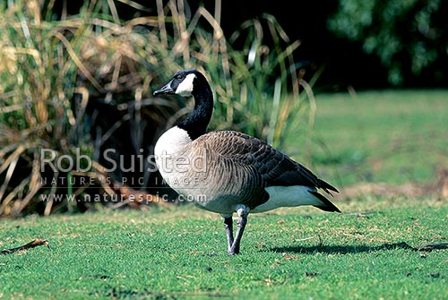 Canada goose (Branta canadensis) (geese), New Zealand (NZ) stock photo.