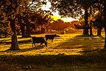 Dairy cows in sunset, Wairarapa