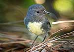 South Island Robin bird