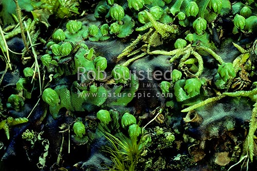 Giant Liverwort (Marchantia spp.), Waiouru, New Zealand (NZ) stock photo.
