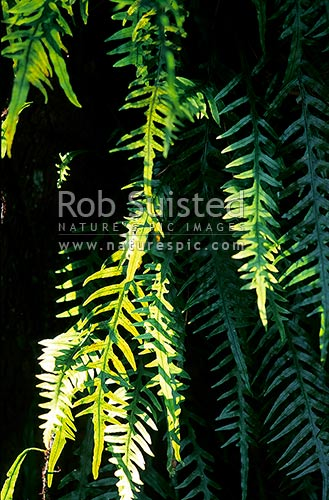 Fragrant Fern fronds in sunlight - Mokimoki (Phymatosorus scandens), New Zealand (NZ) stock photo.