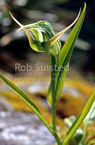 Greenhood orchid (Pterostylis sp.), Fox Glacier, New Zealand (NZ) stock photo.