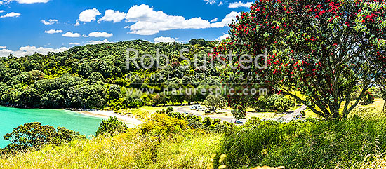 Pohutukawa tree (Metrosideros excelsa) flowering in Anzac Bay, Papatu Point, with tourist campervans in background. Summer panorama, Bowentown, Waihi Beach, Western Bay of Plenty District, Bay of Plenty Region, New Zealand (NZ) stock photo.