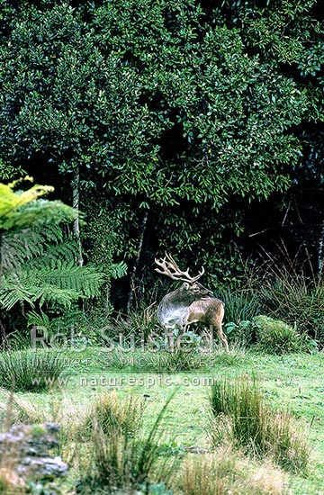 Wild Fallow Deer buck roaring during rut, New Zealand (NZ) stock photo.